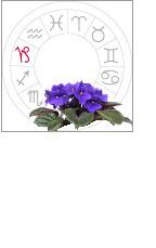 African Violet Flowers