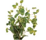 Buplerum Flowers