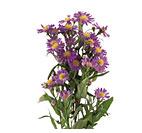 Monte Cassino Aster Flower